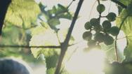 Man spraying fertilizer in a vineyard close up Stock Footage