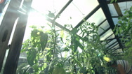 Female gardener cultivates tomatoes in the vegetable greenhouse Stock Footage