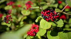 Red and black berries on the bushes Stock Footage