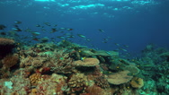 4k Coral reef with healthy hard corals Stock Footage