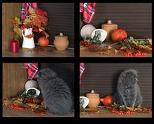 Collage - autumn still life with a cat bully Stock Photos