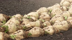 Harvested sugar beet crop root pile Stock Footage