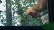 Gentle woman hands gather wet ripe red tomatoes in garden, close-up Stock Footage