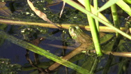 Frog sitting on leaves in a pond Stock Footage