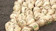 Harvested sugar beet crop root pile Stock Footage
