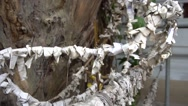 Buddhist paper wishes hanging on tree at temple Stock Footage
