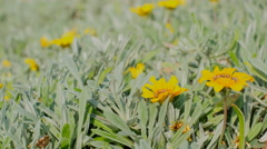 Yellow daisy 4k video static Stock Footage