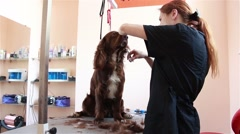 Cuts hair groomer Spaniel Stock Footage