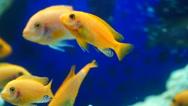 Goldfish underwater closeup Stock Footage