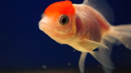 Beautiful Orand goldfish yellow with red head Stock Footage
