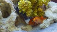 A few goldfish swim among coral reef Stock Footage
