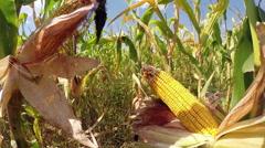 Ripe Golden Corn in Autumn Field Stock Footage