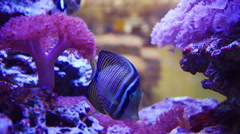 Sailfin Tang and One Spot Foxface fish swim among coral reef Stock Footage