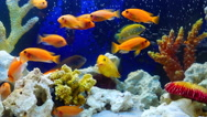 Shoal of yellow vivid fish swim among coral reef Stock Footage