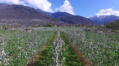 Apple orchards in Valtellina Stock Footage