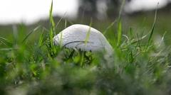 Edible white mushrooms growing in meadow Stock Footage