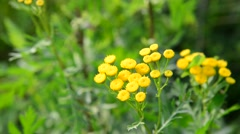 Flowering tansy close up in nature Stock Footage