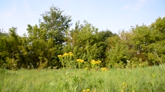 Tansy flowers on meadow in the central part of Russia Stock Footage
