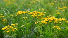 Yellow Flowering tansy close up in nature Stock Footage