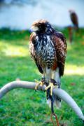 Beautiful bird of prey, common buzzard, sitting on setting pole Stock Photos