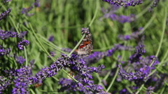 Colorful butterfly and bees flying on purple lavender flower Stock Footage