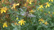 Dewy Dragonfly on St Johns Wort Stock Footage