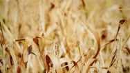Wheat field: cloudy sky over golden field. rain before Stock Footage