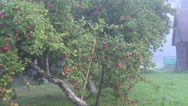 Supported apple tree Stock Footage