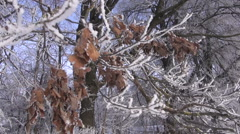 Frost covered oak branch Stock Footage