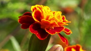 Close up on a marigold flower Stock Footage