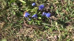 Newt Triturus vulgaris crawling Stock Footage