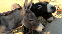 Donkeys eat a carrot out of the hands on the farm Stock Footage