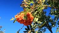 Bunch of rowan berries Stock Footage