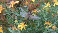 Dew covered dragonfly on St Johns Wort Stock Footage