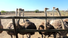 Ostriches at the ostrich farm Stock Footage