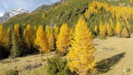 Larchs and pines- Autumn colours in mountain Stock Footage