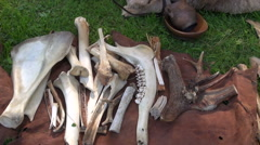 Bones and horns on fur Stock Footage