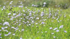 Wild meadow with chicory, Russia Stock Footage