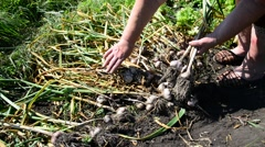 Woman collects garlic harvest Stock Footage