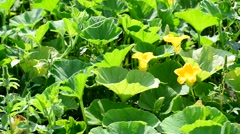 Field pumpkin with yellow flowers Stock Footage