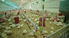 Chicken farm, a lot of the weekly age of chickens, wide shot panorama Stock Footage