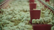 Chicken farm, a lot of the weekly age of chickens, panorama Stock Footage