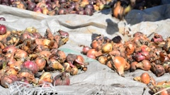 Woman puts onions drying in sun Stock Footage