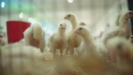 Chicken farm, the weekly age of chickens, close up Stock Footage