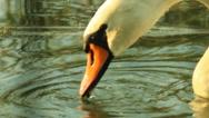 White swan on the lake Stock Footage