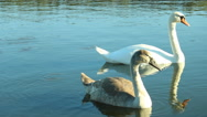 Family of swans on the lake Stock Footage