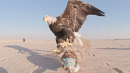 American bald eagle catching lure on sandy plane slow motion Stock Footage