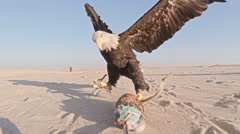 Awesome shot of eagle pursuing and catching lure dragged across sand Stock Footage