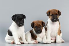 Family of purebred puppies smooth coat fox terrier, photographed large on a g Stock Photos