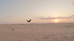 Eagle training on dunes flying across sunset Stock Footage